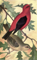 Reed-scarlet-tanager2.png