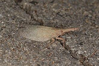 Fulgoridae - Image: Rentinus dilatatus (26573785033)
