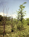 Results of artificial inoculation of Ophiostoma strains in elm cambium Arlington Experimantal Station Wisconsin 1987.06.14.jpg