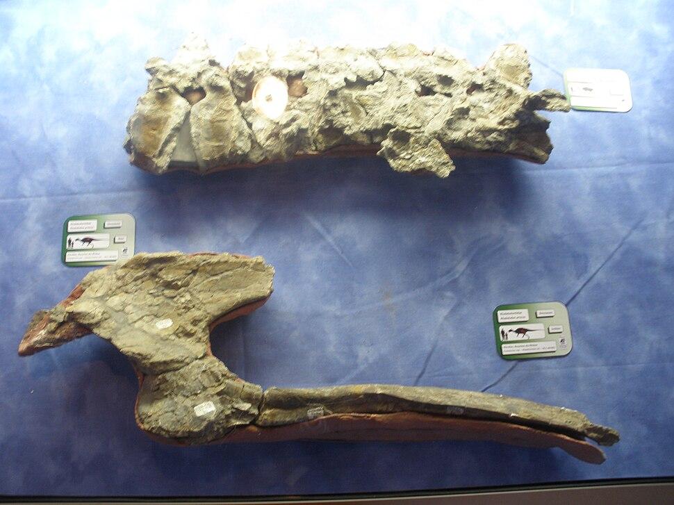 Rhabdodon pelvis and vertebrae