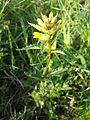 Rhinanthus minor sl5.jpg