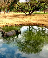 One Horned Rhino in Water Puddle during Summer at Patna Zoo