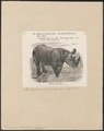 Rhinoceros bicornis - 1700-1880 - Print - Iconographia Zoologica - Special Collections University of Amsterdam - UBA01 IZ22000199.tif