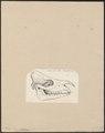Rhinoceros unicornis - schedel - 1700-1880 - Print - Iconographia Zoologica - Special Collections University of Amsterdam - UBA01 IZ22000177.tif