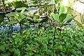 Rhizophora mucronata-Jardin botanique Meise (2).jpg