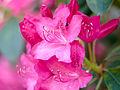 Rhododendron (detail) (9055741979).jpg