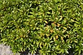 Rhododendron Chinzan 1zz.jpg