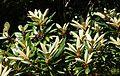 Rhododendron degronianum ssp. yakushimanum - VanDusen Botanical Garden - Vancouver, BC - DSC07101.jpg