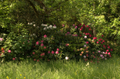 Rhododendron group P0690.png