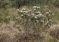 Rhododendron tomentosum kz24.jpg