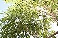 Rhus simarubifolia 2zz.jpg