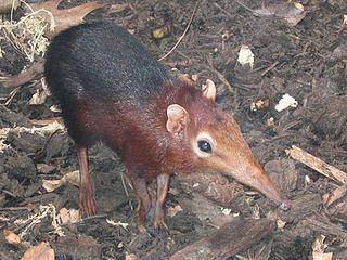 <i>Rhynchocyon</i> genus of mammals