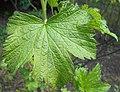 Ribes americanum 2017-04-30 8761.jpg