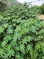 Ricinus communis - Castor Bean Plant at Trivandrum 2014 (5).jpg