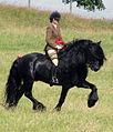 Ridden Dales Pony Stallion.jpg