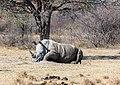 Rinoceronte blanco (Ceratotherium simum), Santuario de Rinocerontes Khama, Botsuana, 2018-08-02, DD 10.jpg