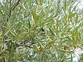 Ripe olive lurking in the leaves.jpg