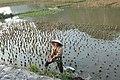 Riziculture à Tam Coc (3).jpg