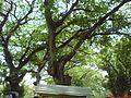 Road side big tree's at jhenaidah - 3.jpg