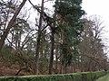 Roadside pines - geograph.org.uk - 311254.jpg