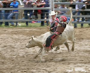Australian rodeo - A rodeo clown assisting a junior calf rider.