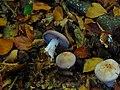 Roetelritterling Violetter (1).jpg