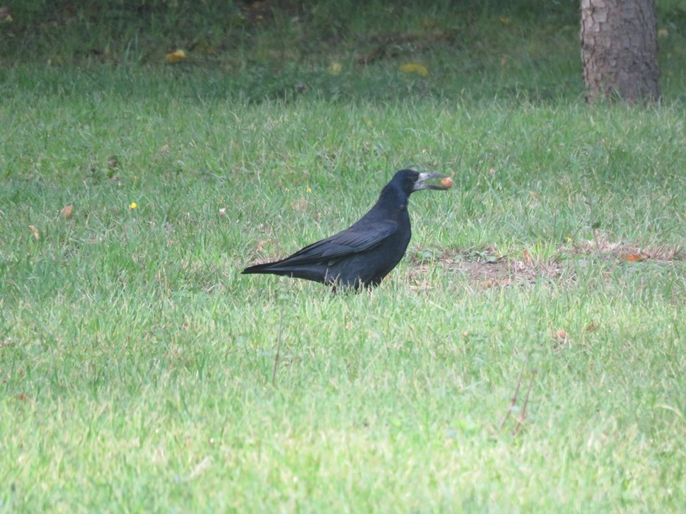 Rook in the grass 07