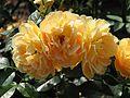 Rosa 'Bernstein Rose' 03.jpg