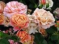 Rosa 'Cubana' 01.JPG