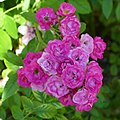 "Rosa ""Allevia"" o VEL15mrora. 01.jpg"
