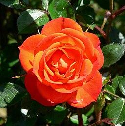 Rosa Cricket 1