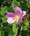 Rosa majalis inflorescence (04).jpg