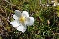 Rosa spinosissima inflorescence (67).jpg