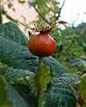 Rosa tomentosa fruit (02).jpg