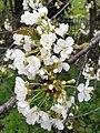 Rosales - Prunus cerasus - 18.jpg