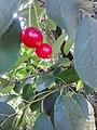 Rosales - Prunus cerasus 4.jpg