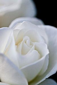 Rose, Iceberg (Schneewittchen)2.jpg
