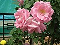 Rose from Lalbagh flower show Aug 2013 8568.JPG