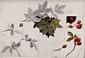 Rose hips and leaves. Watercolour and pen drawings. Wellcome V0043564.jpg