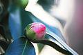 Roses, jardin japonaise, Toulouse.JPG