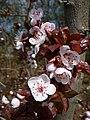 Rote Blätter weiße Blüten der Kirschpflaume.jpg