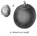 Rozier - Cours d'agriculture, tome 8, pl. 31, damas noir tardif.png