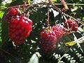 Rubus glaucus detalle frutos.JPG