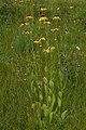 Rudbeckia grandiflora var. alismifolia.jpg