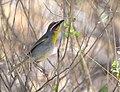 Rufous-capped Warbler (33175815924).jpg