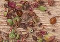 Rumex acetosella fruits and seeds, Schapenzuring vruchten en zaden.jpg