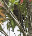 Rusty-breasted Cuckoo - Gunung Gede - West Java MG 3616 (29836207235) (cropped).jpg