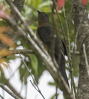 Description de l'image Rusty-breasted Cuckoo - Gunung Gede - West Java MG 3616 (29836207235) (cropped).jpg.