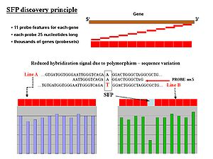 Genetic marker - SFP discovery principle for gene probing