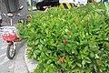 SZ 深圳 Shenzhen 南山 Nanshan District 南海大道 1059 Nanhai Blvd Dayhello Hotel red flowers green leaves Sept 2017 IX1 大王紅仙丹 Ixora 01.jpg